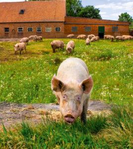 artgerechte Schweinehaltung auf dem Meisterhof Wehdebrock