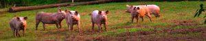 Für Sauen und Jährlinge ist die Wiese ein gesunder Ort